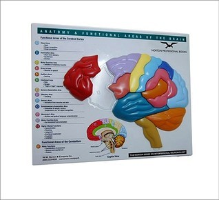 Brain Model  Puzzle: Anatomy  Functional Areas of the Brain