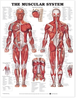 The Muscular System Anatomical Chart par Anatomical Chart Company