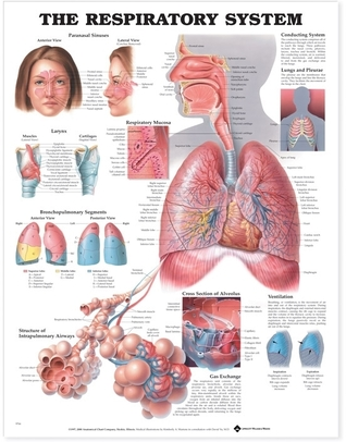 The Respiratory System Anatomical Chart por NOT A BOOK