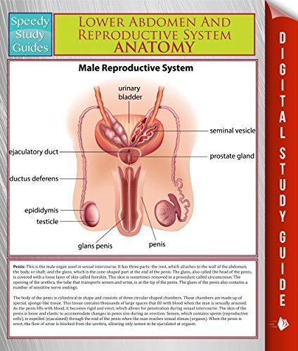 Lower Abdomen And Reproductive System Anatomy
