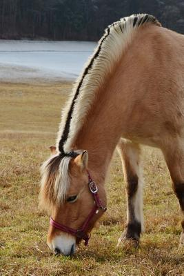 Norwegian Fjord Horse at Pasture Journal: Take Notes, Write Down Memories in this 150 Page Lined Journal