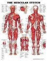 The Muscular System (Teach & Learn)