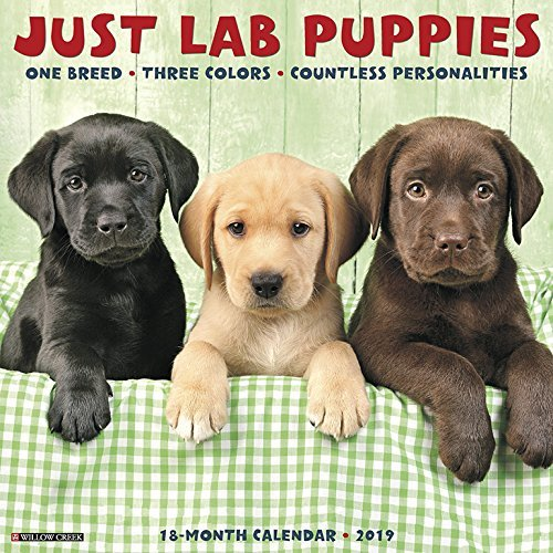 Just Lab Puppies 2019 Wall Calendar