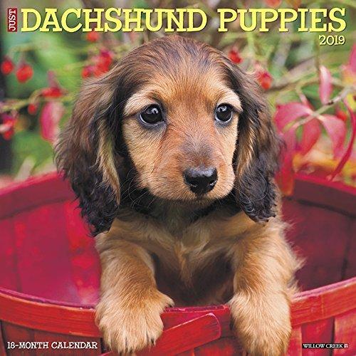 Just Dachshund Puppies 2019 Wall Calendar