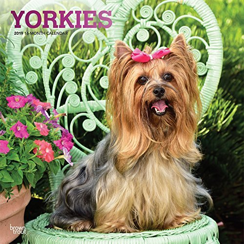 Yorkies 2019 12 x 12 Inch Monthly Square Wall Calendar with Foil Stamped Cover, Animals Small Dog Breeds Yorkshire Terriers