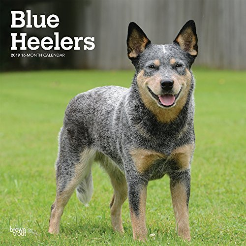 Blue Heelers 2019 12 x 12 Inch Monthly Square Wall Calendar, Animals Dog Breeds