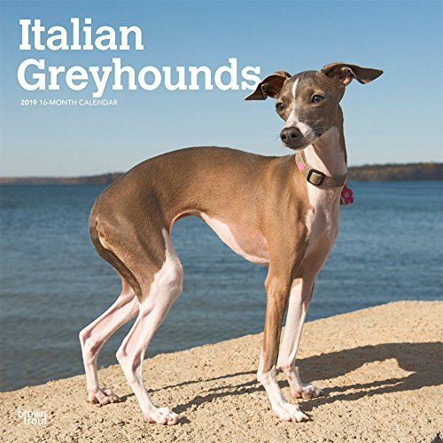 Italian Greyhounds 2019 12 x 12 Inch Monthly Square Wall Calendar, Animals Italian Dog Breeds