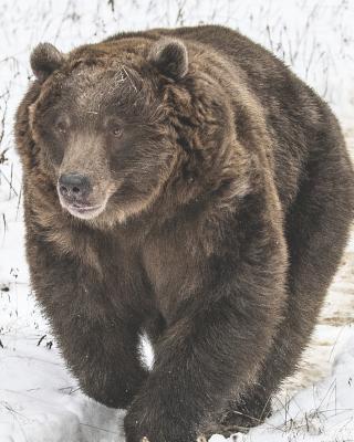 2019 Planner: Weekly Planner & Monthly Calendar - Desk Diary, Journal, Alaska, Grizzly Bear, Alaskan Wildlife, American Wildlife, Arctic Animals, 8x10