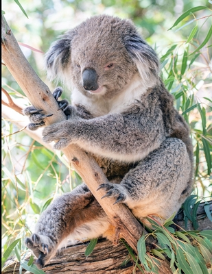Koala Composition Book: 8.5 x 11 Wide Ruled Line Paper with 200 pages (100 sheets)