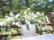 Here are white roses on our deck. We have several different colors of roses.