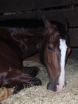 Muddy, sleeping in his stall after a big show.