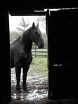 black horse looking through barn
