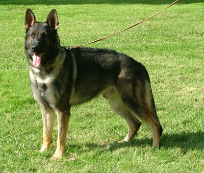 You will be talking to a lot of breeders so get ready for that right off the bat. Talking to just one breeder is not enough because even though you are bringing the dog home your relationship with Marysville German Shepherd Breeder will go on for a long time. You need to feel like you can ask your breeder for advice and if a particular breeder makes you uncomfortable then you need to talk to other breeders until you find one you feel comfortable with. Click this site http://germandogtrainingcenter.com/ for more information on Marysville German Shepherd Breeder.Follow Us: http://www.apsense.com/brand/germandogtrainingcenterhttp://plus.google.com/communities/115749712295055297051http://del.icio.us/marysvilledoghttp://www.stumbleupon.com/stumbler/YubaCityDog