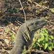 Here's a great big nearly a meter  long Monitor Lizard that if crept up on up in Chobe, Botswana in June 2015. About twice the size of the one I chased up a Mosu bush near Maun with my Biology Class.