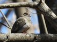 This little Mourning Dove sits outside when I do, watching me take pictures. Yes, I befriended him. :)