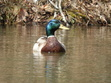 This is a male Mallard duck that lives in my pond.
