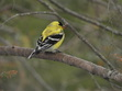 Did you know that every Winter male Gold Finches dull in their average bright yellow? Well, when you start seeing bright yellow ones... it's mating season which is Spring!