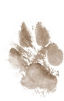 Where did the paw print on the first and last page of Annie Spruce come from?
