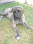 Henry, the dog in Remember When, is based off of the author's actual dog. What type of mastiff is the real-life Henry?