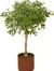 The Ficus