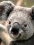 Koala MOon Bear Dreaming