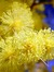 Goldenwattle