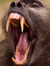 demented baboon