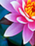 A~lotus