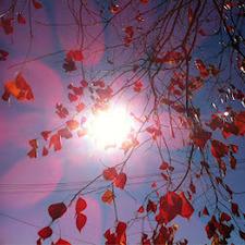 Fuchsia Sunbeam