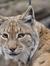 Lynxie Brat
