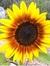 sunflowersuper