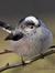 Chiffchaff Birdy