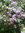 Daisy (Bellisperennis)