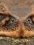 Pancake Toad