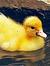 Petite Duck