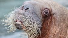 Walrus Girl