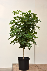 The_Ficus _
