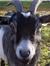 D.W. Goates