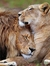 Raw Lioness